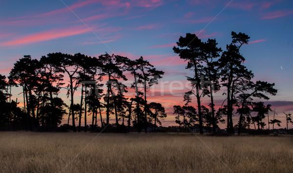 Sundown Old Pine Trees Stock photo © rghenry