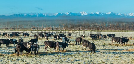 New Zealand Winter Cows Stock photo © rghenry