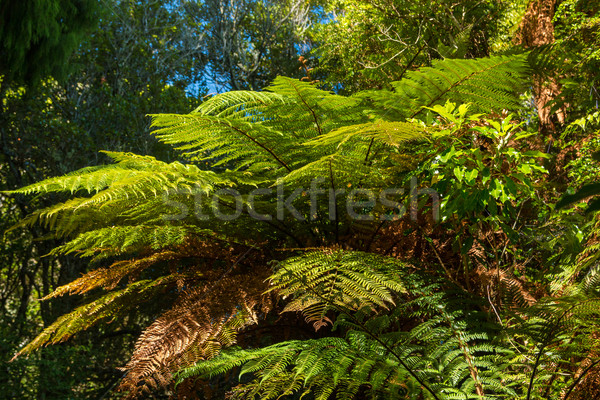 Bush Ferns Stock photo © rghenry