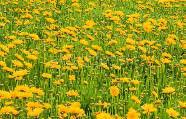 Chrysanthemum flowers Stock photo © rghenry