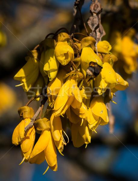 Flowering Kōwhai Bee Stock photo © rghenry