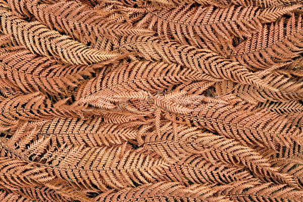 Asciugare felce texture essiccati fuori Foto d'archivio © rghenry
