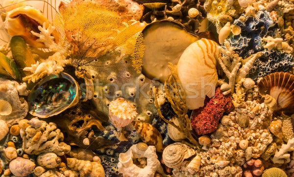 морем коралловые оболочки смесь жизни Сток-фото © rghenry