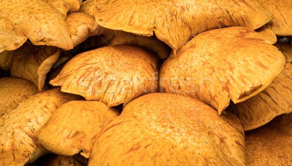 Honing paddestoel boom groeiend pijnboom Stockfoto © rghenry