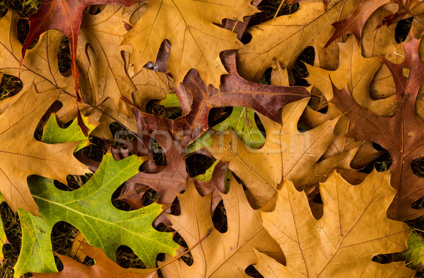 Autum Maple Leafs Stock photo © rghenry