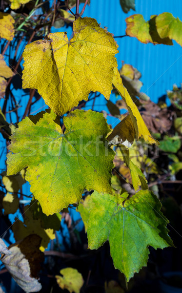 Vine Colors Stock photo © rghenry