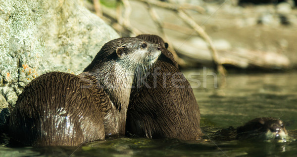 Asian Small Clawed Otter Stock photo © rghenry