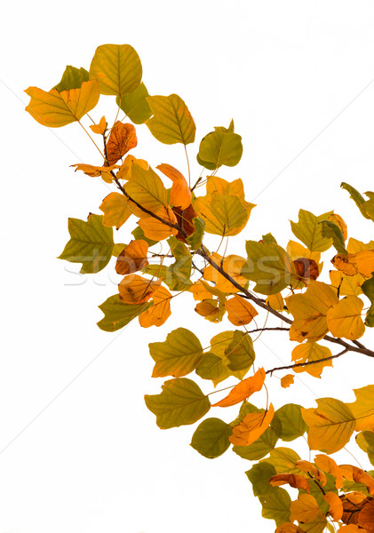 Leaves in Autumn Stock photo © rghenry
