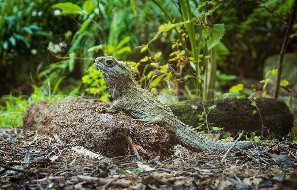 Stock photo: Tuatara