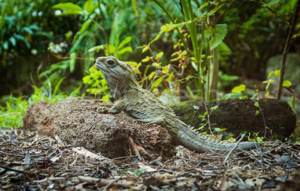 Hüllő Új-Zéland randizás hát természet állat Stock fotó © rghenry