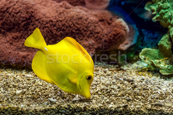 желтый аквариум поиск продовольствие гравий нижний Сток-фото © rglinsky77