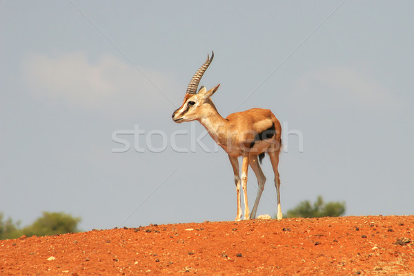 Gazelle on the hill. Stock photo © rglinsky77