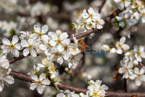 Arı bahar polen çiçekli ağaç Stok fotoğraf © rglinsky77