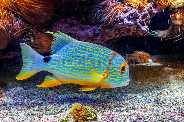 Colorful exotic fish in aquarium. Stock photo © rglinsky77