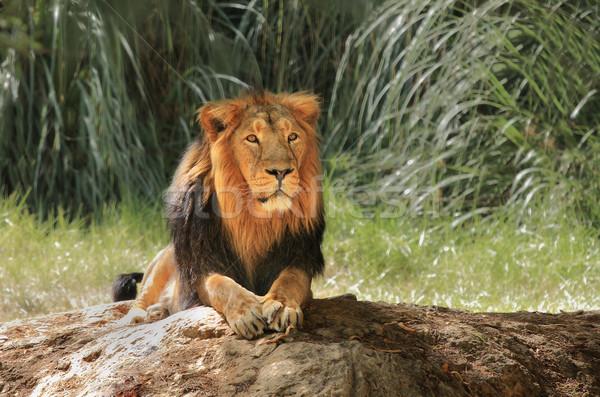 Aslan safari gölge ağaçlar çim Stok fotoğraf © rglinsky77