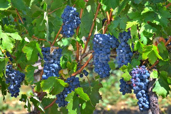 Ripe grapes. Piedmont, Italy. Stock photo © rglinsky77