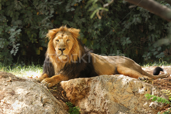 Lion Safari ombre arbres herbe Photo stock © rglinsky77