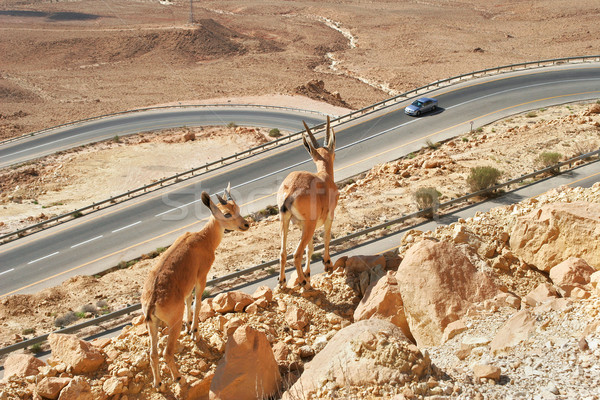 Ibexes on the cliff above the highway. Stock photo © rglinsky77