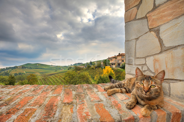 Kedi duvar İtalya tuğla duvar güzel Stok fotoğraf © rglinsky77