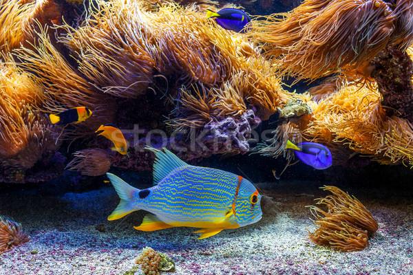 Renkli egzotik akvaryum tropikal yüzme Stok fotoğraf © rglinsky77