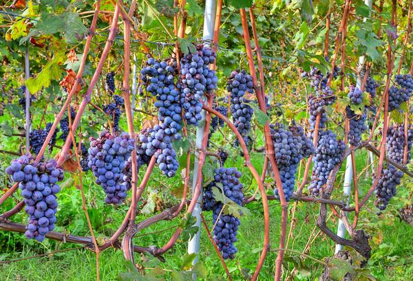 Grapes before harvesting. Piedmont, Italy. Stock photo © rglinsky77
