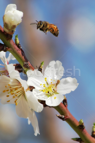 Bee flying over almond flowers. Stock photo © rglinsky77
