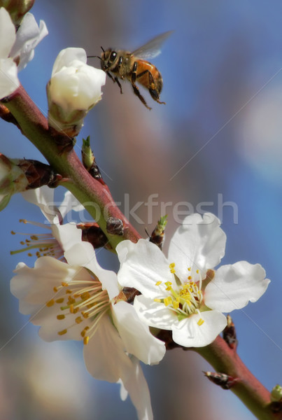 Bee gathering pollen from almond flowers. Stock photo © rglinsky77