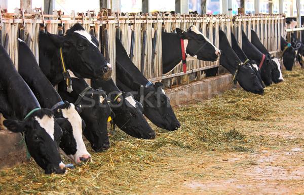 Vacas fazenda Israel suporte comer Foto stock © rglinsky77