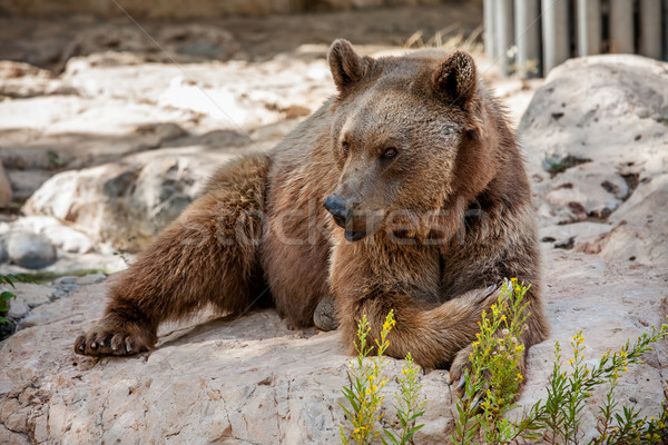 Brown bear on the rocks. Stock photo © rglinsky77