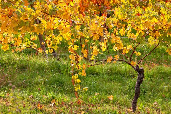 Renkli sonbahar bağ kuzey İtalya doğa Stok fotoğraf © rglinsky77