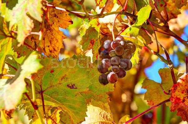 винограда листьев Италия изображение Сток-фото © rglinsky77