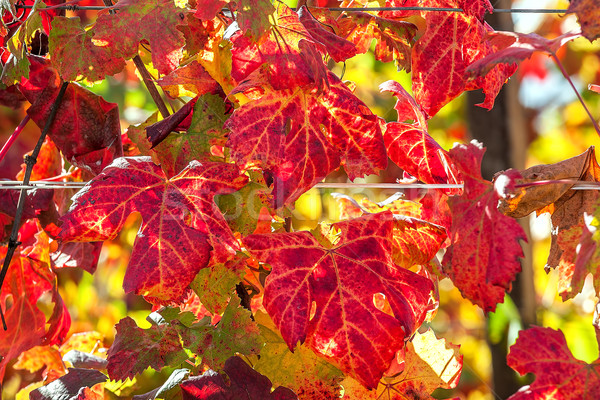 Renkli bağ yaprakları kırmızı turuncu üzüm Stok fotoğraf © rglinsky77