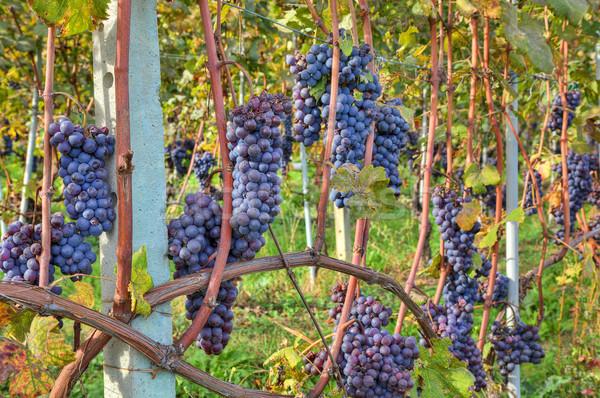 ストックフォト: ブドウ · 収穫 · イタリア · クローズアップ · 画像