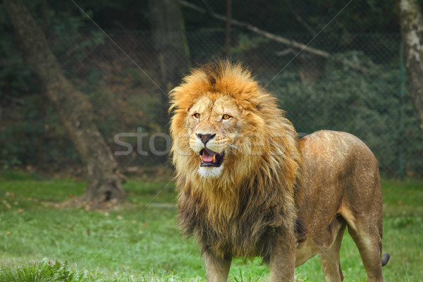 Lion in the zoo. Stock photo © rglinsky77
