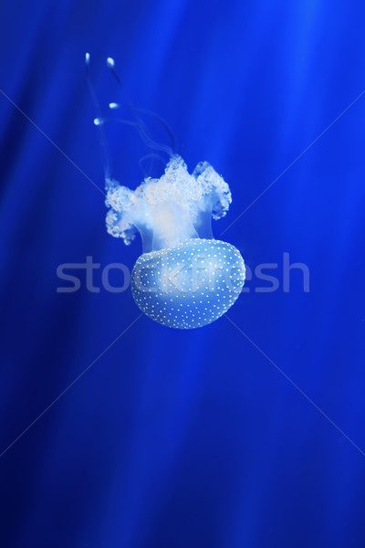 White jellyfish. Genoa aquarium, Italy. Stock photo © rglinsky77