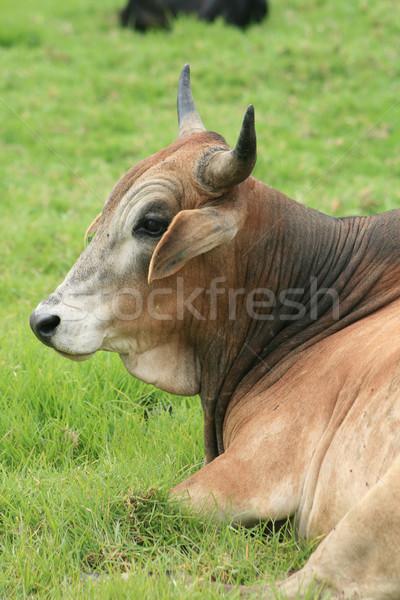 Cabeça marrom touro grande agricultores Foto stock © rhamm