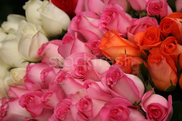 Ecuadorian Roses Stock photo © rhamm