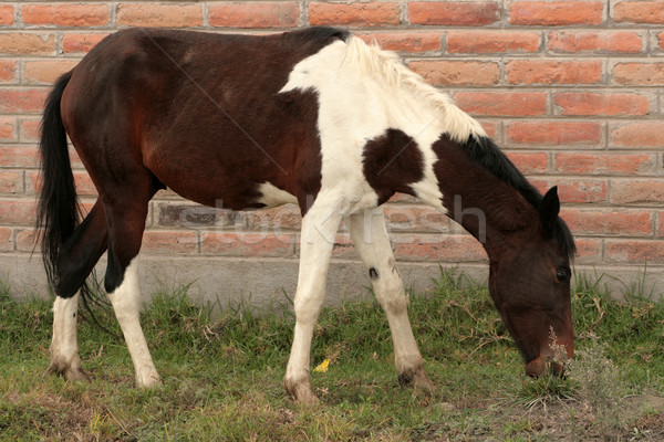 Brown and White Horse in Cotacachi Stock photo © rhamm