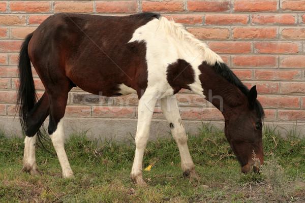 Marrón caballo blanco caballo naturaleza Foto stock © rhamm