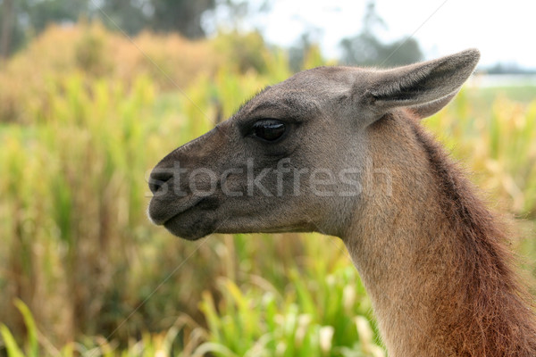 Hoofd lama naar boeren veld boerderij Stockfoto © rhamm