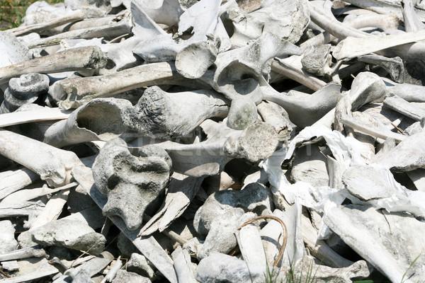 Bison and Deer Bones Stock photo © rhamm