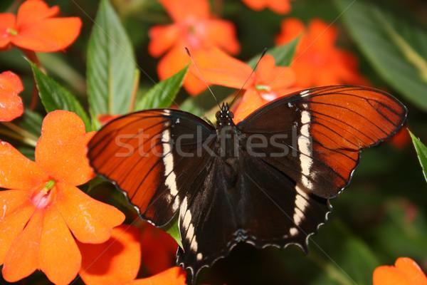 Preto marrom borboleta folha jardim flor Foto stock © rhamm