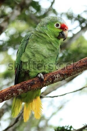 Papegaai tak groene boom jungle Stockfoto © rhamm