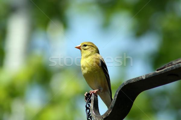 Female American Goldfinch Stock photo © rhamm