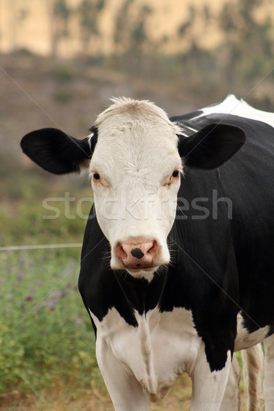 Front of a Cow Stock photo © rhamm