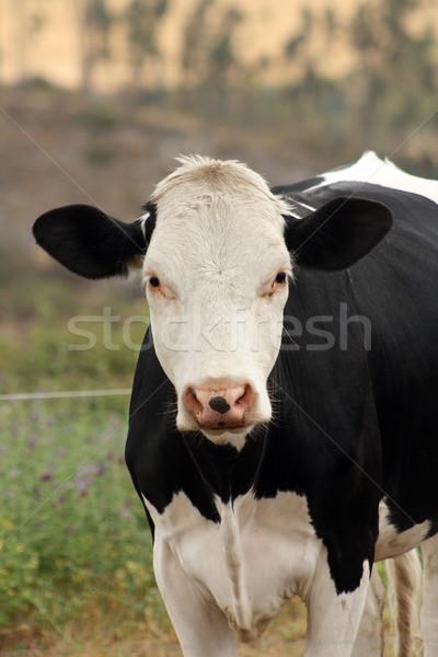 Foto stock: Vaca · olhando · agricultores · campo · natureza