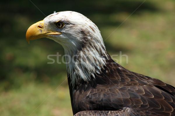 Niedojrzały łysy orzeł amerykański zewnątrz ptaków Zdjęcia stock © rhamm