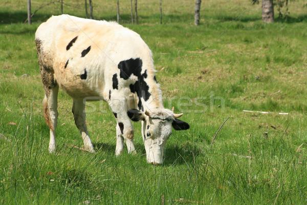 Black and White Holstein Grazing Stock photo © rhamm