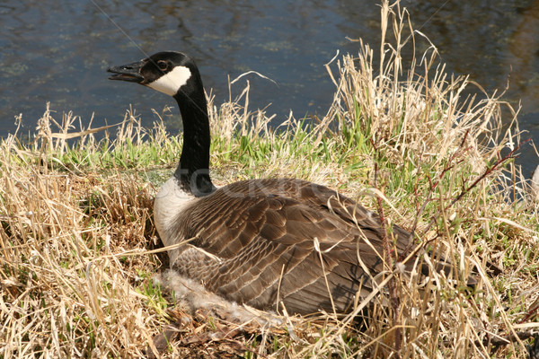 Canada Goose on a Nest Stock photo © rhamm