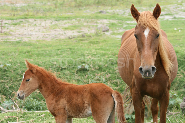 Mare and Colt in a Meadow Stock photo © rhamm